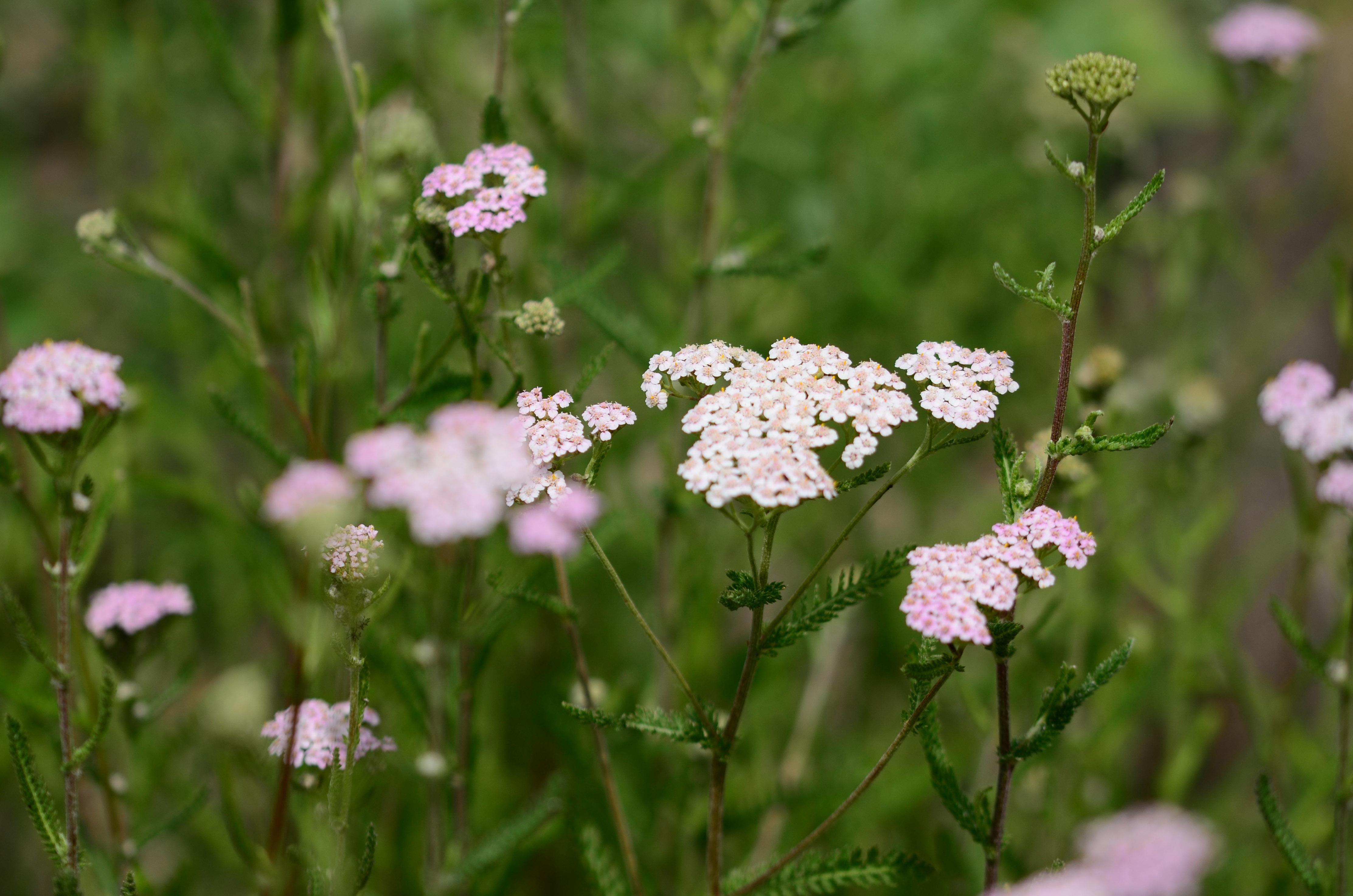 Achilea-millefolium-ssp-millefolium-2-1